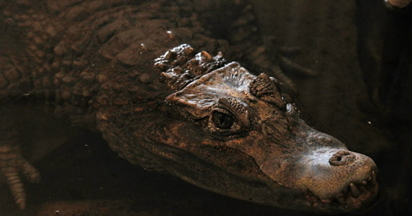 Крокодил напал набританскую туристку вМексике