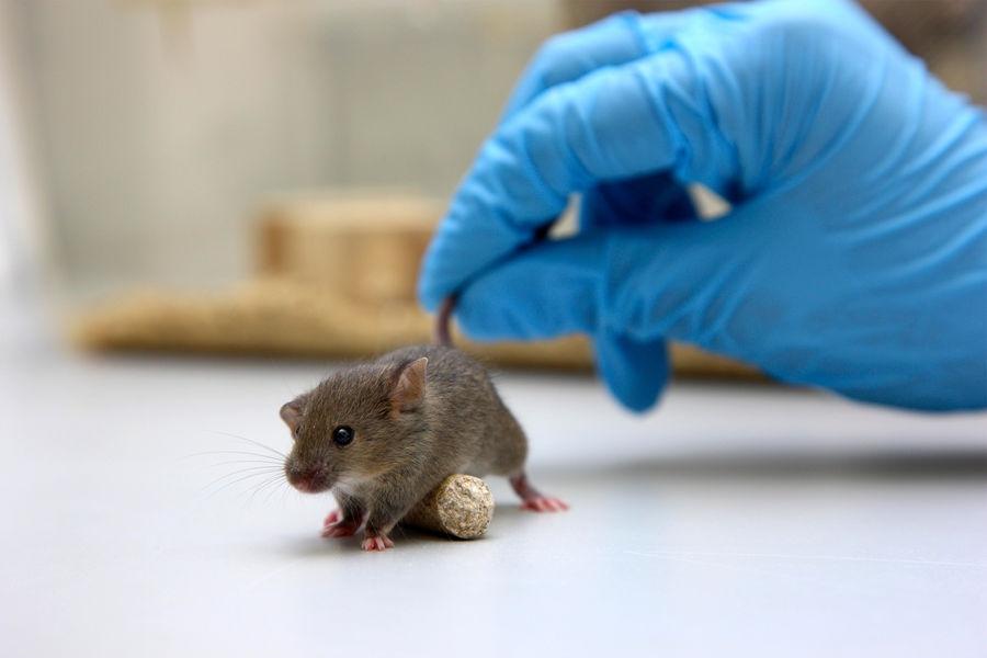 Японские ученые вогнали мышь вдепрессию зрелищем угнетения еесородичей