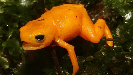 Открыт новый вид светящейся в темноте ядовитой жабы