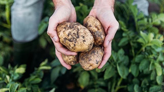 Почему на этой неделе нельзя сажать картошку