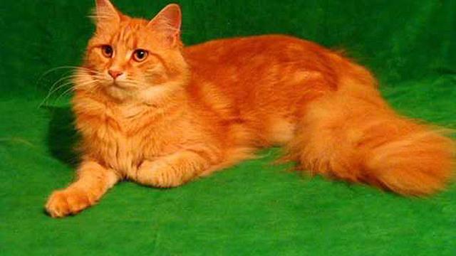 Приметы и суеверия о рыжих котах