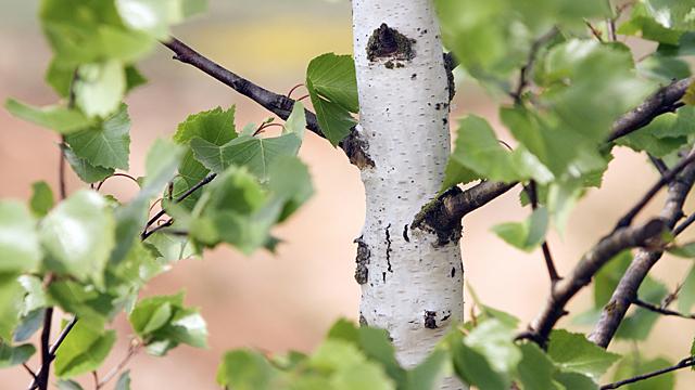 Почему на Руси березу называли ведьминым деревом
