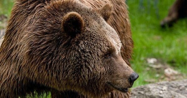 ВМытищах ищут сбежавшего изгольф-клуба медведя