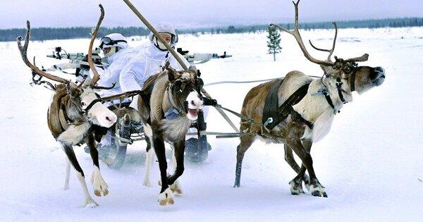 Ученые вАрктике надели спутниковые ошейники наплывущих оленей
