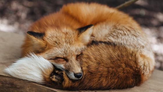 Саратов ввел карантин на два месяца из-за бешеной лисы
